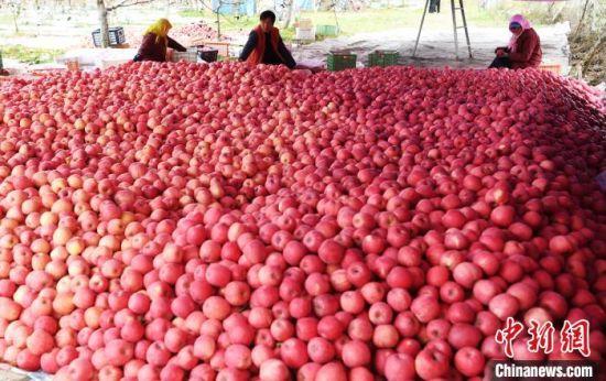 图为农户采摘苹果等待客商地头收购。 杨艳敏 摄