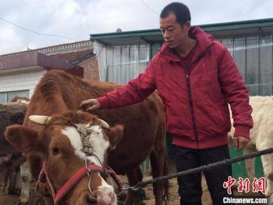 """正宁县西坡镇石湾子村""""80后""""村民焦永涛此前一直在江苏打工。3年前,他回村自繁自养的牛犊可以卖1万元以上,养牛成为他返乡的""""源动力""""。 侯志雄 摄"""
