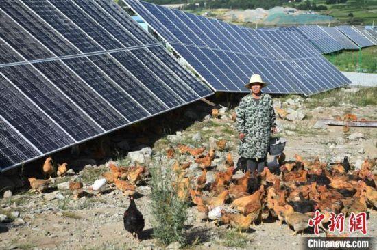 2020年7月7日,积石山县刘集乡肖家村村民在光伏电站内养鸡。(资料图)杨艳敏 摄