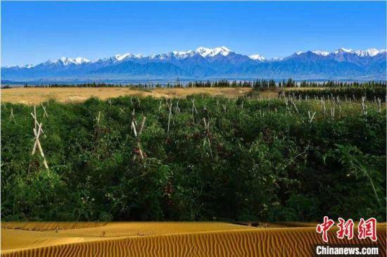 图为柴在军的黑番茄生产基地成了沙漠一道靓丽的风景线。(资料图)受访者供图