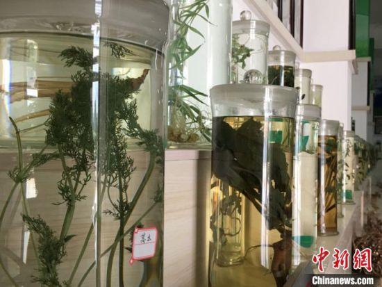2020年8月下旬,甘肃省定西市陇西县药圃园中集中展示一批由中药材制作而成的标本画。图为标本室中浸渍标本展示。(资料图) 张婧 摄