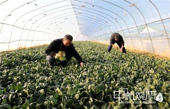 西峰区后官寨镇沟畎村村民在菠菜大棚中拔草。