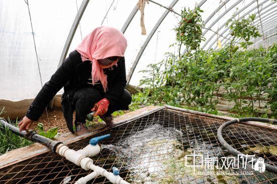 图为富民新村日光温室大棚里正忙碌的杨玉霞。