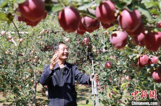 """图为陇南市礼县""""新农人""""利用手机直播自家果园苹果。(资料图) 李旭春 摄"""