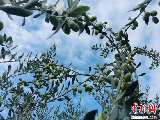 图为陇南市武都区油橄榄果,果粒饱满压弯枝头。 (资料图) 樊翔 摄