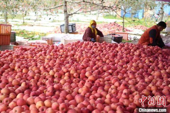 2021年10月28日,灵台县黄土塬上的苹果丰收。(资料图) 杨艳敏 摄