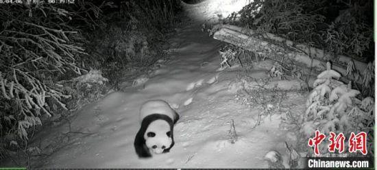 图为甘肃白水江国家级自然保护区监测到的大熊猫在雪地行走的影像。(资料图) 甘肃白水江国家级自然保护区管理局供图