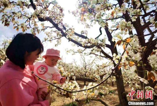 """""""世界第一古梨园""""连片梨园面积达12000余亩,现存百年以上的古梨树九千多株,被录入世界吉尼斯大全。 史静静 摄"""