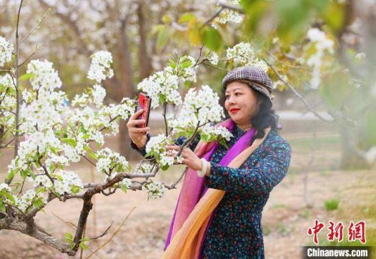 梨花绽放风景如画,游客驻足自拍留念。 高展 摄