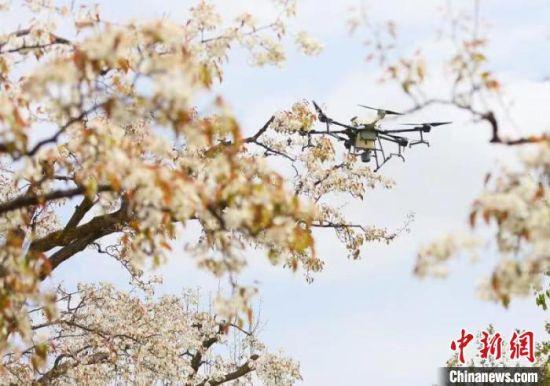 图为古梨园利用无人机飞播技术防治病虫害。 高展 摄