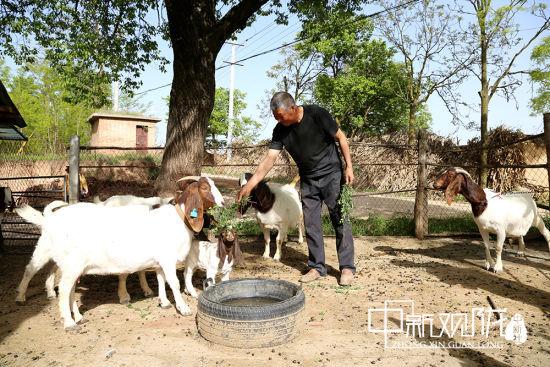 图为村民喂养波尔山羊。