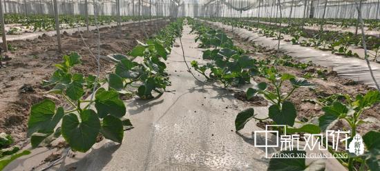 图为瓜州县飞天蜜瓜农民专业合作社大棚蜜瓜。