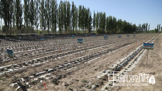 瓜州县绿诚益民种植专业合作社大田蜜瓜。