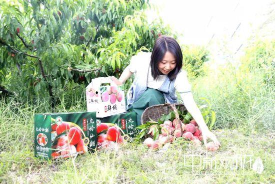 """近日,文县石鸡坝镇陶家湾村众兴油橄榄种植农民专业合作社里的""""九岭仙桃""""喜获丰收。"""