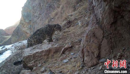 图为阿克塞县2021年第二次雪豹保护监测红外线相机采集到的雪豹影像。(资料图)阿克塞县融媒体中心供图