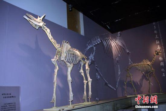 """图为该博物馆展出六项世界之最中的""""世界上最丰富的三趾马动物群化石""""。"""