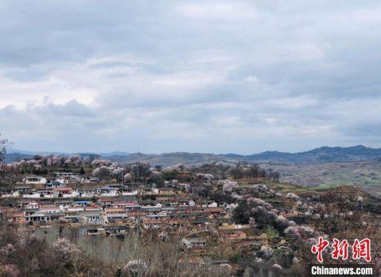 图为2021年3月,甘肃天水一处山村被杏花包裹。(资料图) 王选 摄