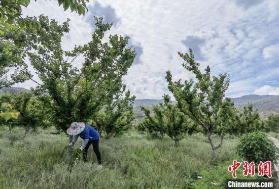 图为丁玉芹管护树林。 刘玉桃 摄