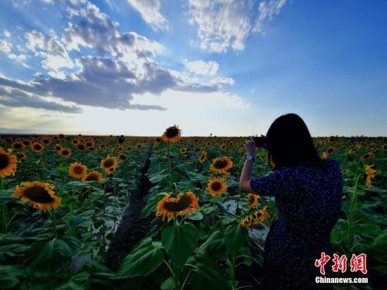 �D�橄��西下,�f��向日葵吸引游人�^�p拍照。��d明 �z