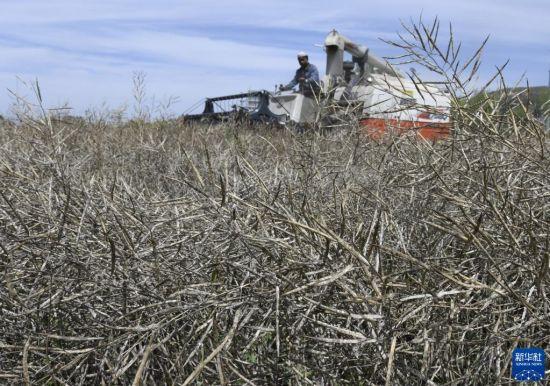8月27日,和政县松鸣镇的农机手在田间收割油菜。新华社发(史有东 摄)