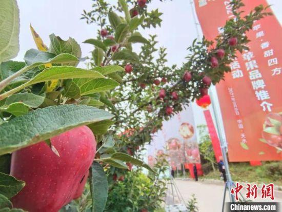 9月8日,2021年天水花牛苹果品牌推介暨产销对接系列活动在甘肃天水麦积区南山万亩花牛苹果基地举行。 张婧 摄