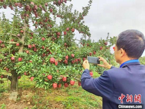 图为中国苹果产业协会秘书长高继海在麦积区南山万亩花牛苹果基地,当他看到这里的花牛苹果长势时格外欣慰。 张婧 摄