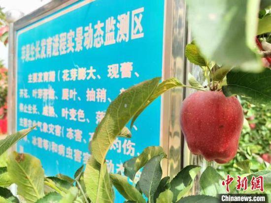 图为当地万亩花牛苹果基地。 张婧 摄