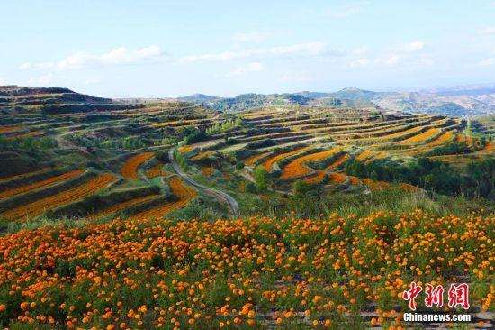 千亩万寿菊盛开形成的金色花海,不但为发展乡村旅游和观赏农业带来了契机,也成为农户增收的新途径。王卫东 摄