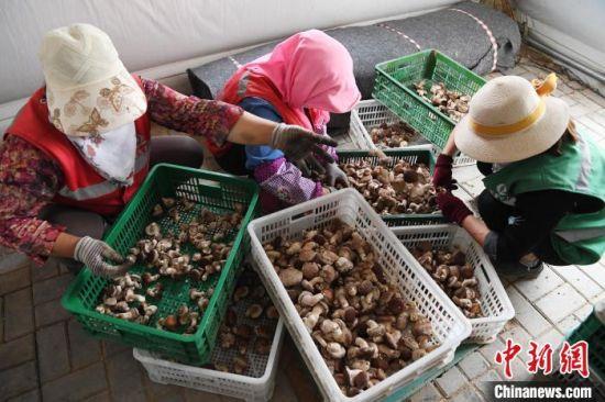 图为农户分拣蘑菇。 杨艳敏 摄