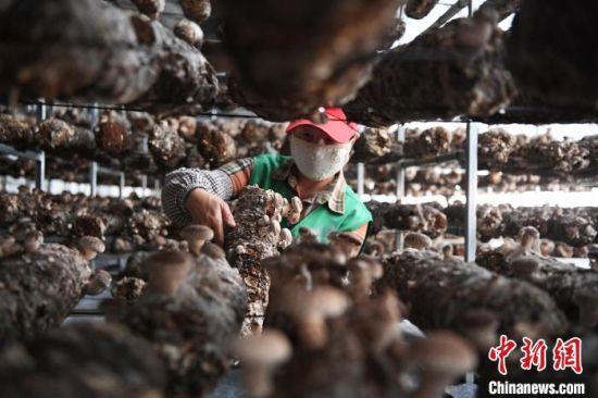 图为农户采摘蘑菇。 杨艳敏 摄