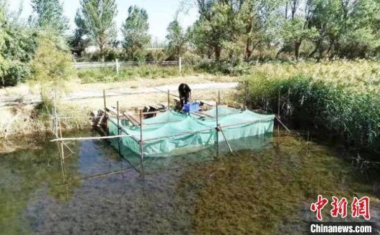 今年年初,张德鹏从江苏购买伊乐藻、苦草、轮叶黑藻等水草用于改善水底生态环境。 安涛 摄