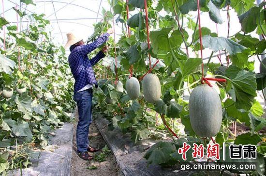 图为村民打理蜜瓜。