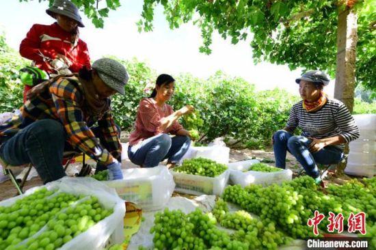 图为果农们忙着整理采摘的葡萄。(资料图)  王斌银 摄