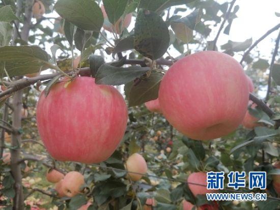 宁县苹果。新华网(宋燕 摄)