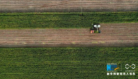 近日,在甘肃省张掖市老寺庙农场二分场的青贮玉米地,数台收割机正紧锣密鼓地忙碌。新华网发(杨永伟 摄)