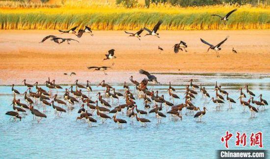 图为在张掖湿地上栖息的黑鹳群。(资料图) 张汉军 摄