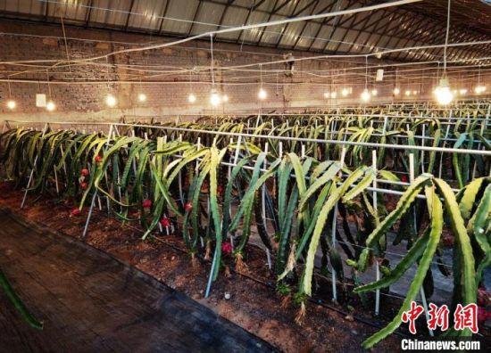 图为古耀堂引进的台湾火龙果品种,在古浪成功种植挂果。(资料图) 丁思 摄