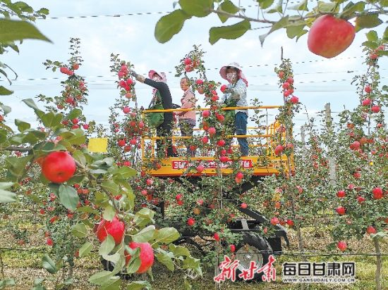 宁县焦村镇海升模式苹果产业基地员工借助机械进行采摘。新甘肃・甘肃日报记者 王朝霞