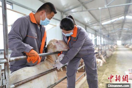 """环县大学生""""羊倌""""科学养殖。(资料图) 环县融媒体中心供图"""