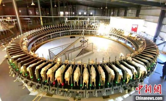 环县毛井镇奶山羊繁育场。(资料图) 环县融媒体中心供图