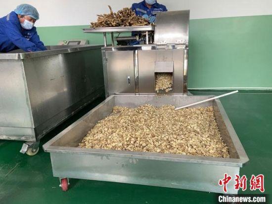 9月27日,甘肃定西市陇西县一中药材初加工车间的工人正在对黄芪进行切片加工。 宋子昕 摄