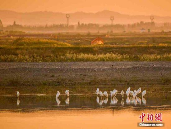 图为鸣沙山下九连湖湿地大批白鹭翩跹起舞。 王斌银 摄