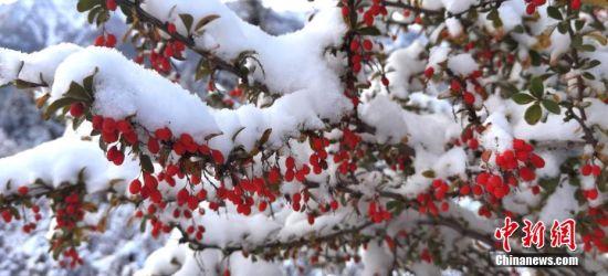 图为树木被披上了一层白雪。 武雪峰 摄