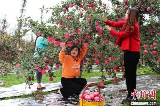 图为当地果农采摘苹果。 李顺民 摄