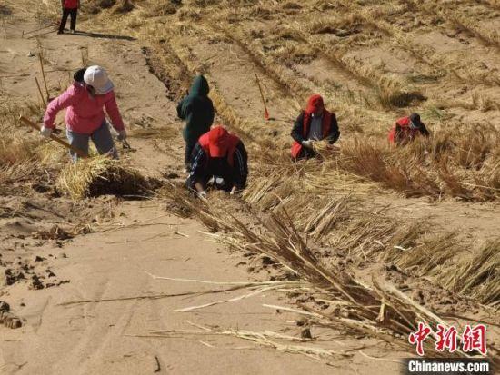 图为甘肃凉州区干部跪在斜坡上压沙,徒手刨坑埋草方格。 闫姣 摄