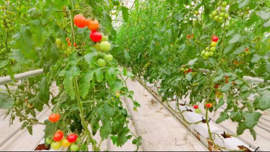 中国-以色列(酒泉)绿色生态产业园智能连栋温室内小西红柿 光明网记者 沈甜/摄