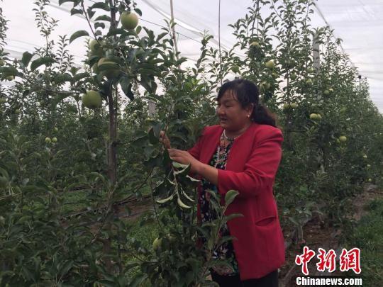 陆爱霞在苹果园里压枝。 刘薛梅 摄