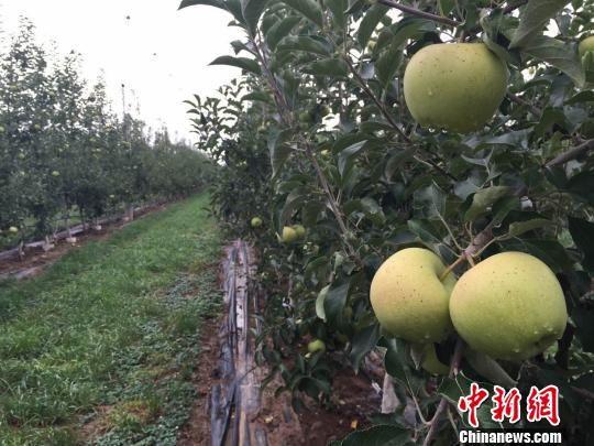 甘肃宁县焦村镇街上村建成高科技苹果产业试验园。 刘薛梅 摄