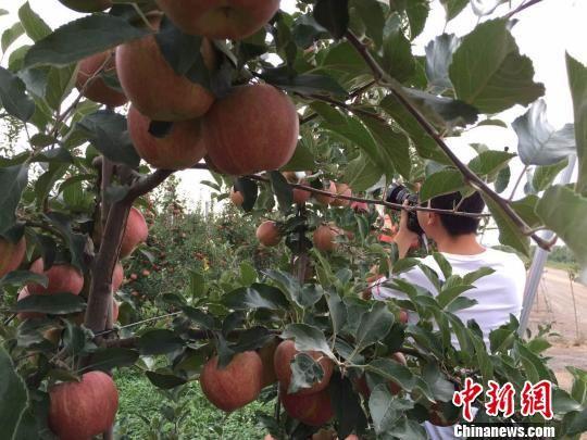 """""""海升苹果""""栽树当年成花、两年结果、三年丰产。 刘薛梅 摄"""