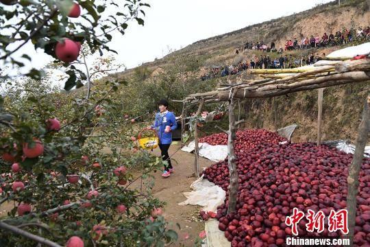 图为清水县果园丰收的苹果。 杨艳敏 摄